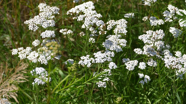 yarrow growing in the wild