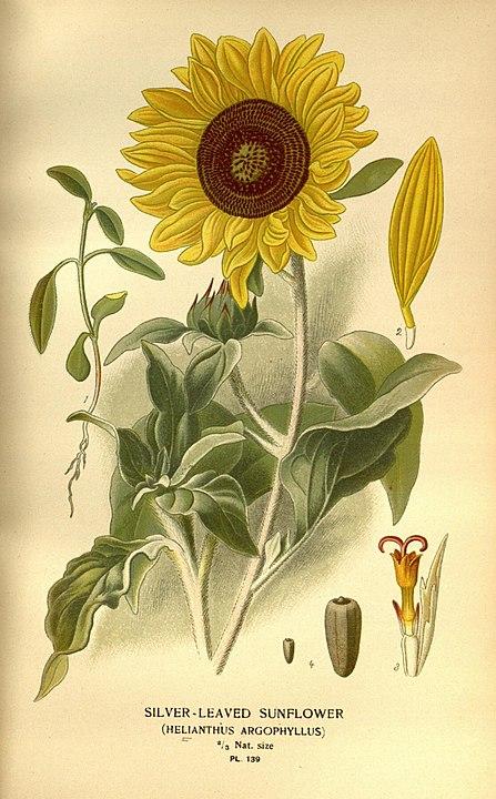 magickal properties of sunflowers Helianthus annuus botanical illustration
