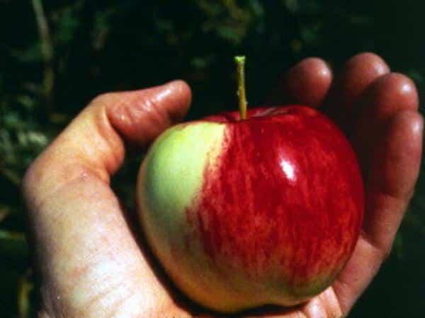 Malus sieversii apple held in a hand