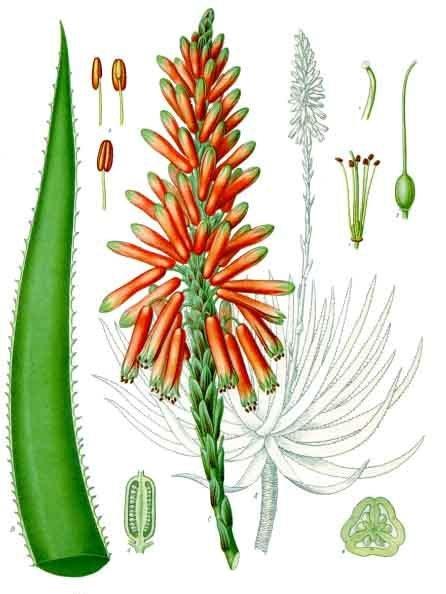 botanical drawing of aloe for magickal properties of aloe