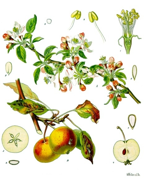 botanical illustration of Malus domestica for the magickal properties of apples