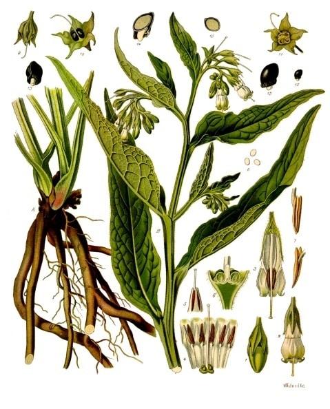 botanical illustration Symphytum Officinale for magickal properties of comfrey