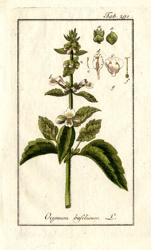 botanical illustration of basil from 1796 for magickal properties of basil