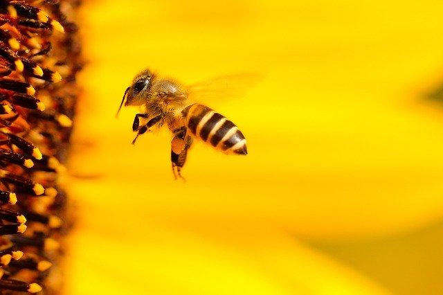 bee flying into sunflower macro
