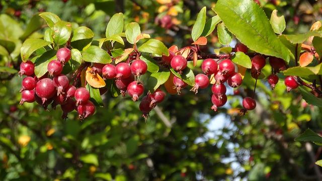 crabapple branch for magickal properties of apples