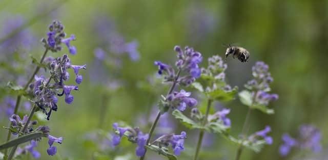 bee flying into catnip flower