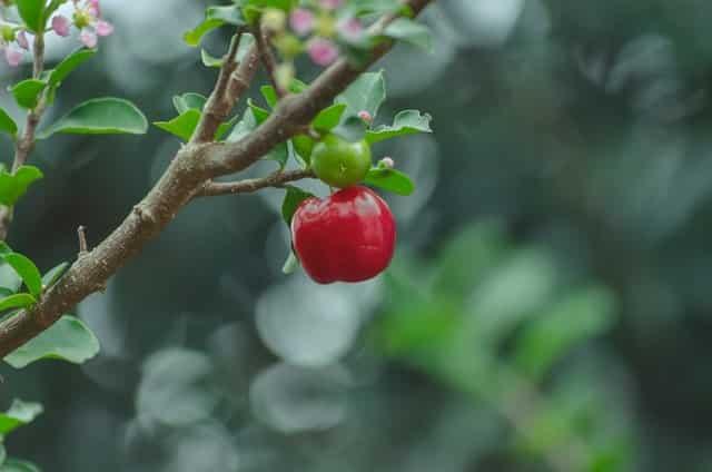 silver bough apple branch