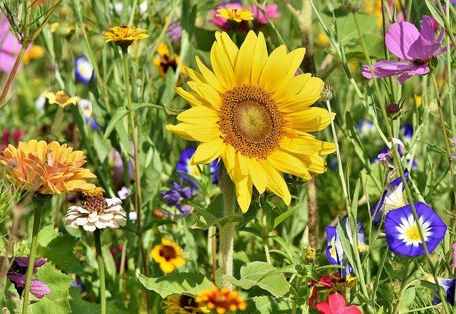 sunflower in a field of wildflowers