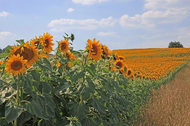 field of sunflowers for magickal properties of sunflowers