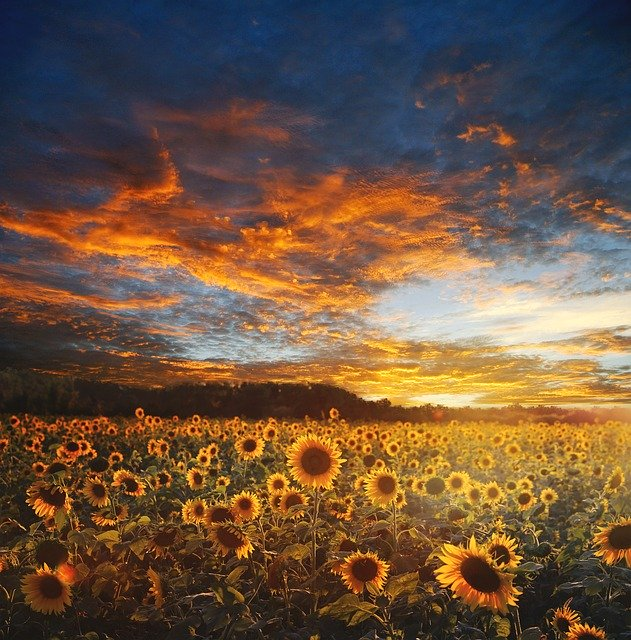 sunflower field with the setting sun for lammas decorations