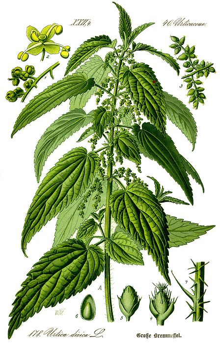 botanical illustration Urtica dioica for magickal properties of nettles