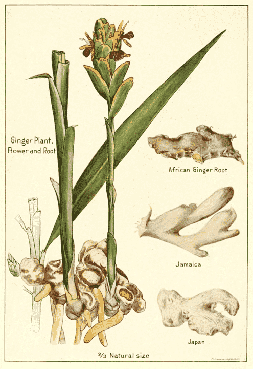 ginger botanical drawing for magickal properties of ginger