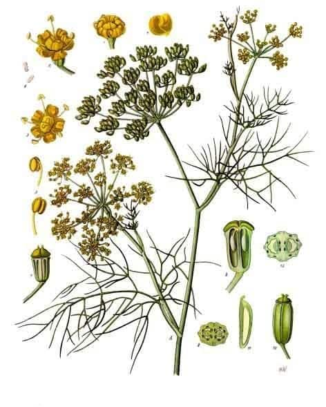 Foeniculum vulgare botanical illustration for magickal properties of fennel