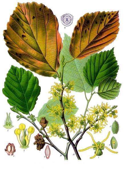 botanical illustration of Hamamelis virginiana for magickal properties of witch hazl
