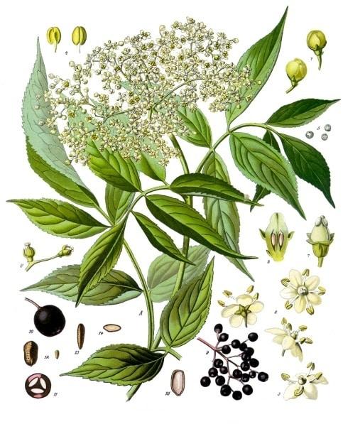 botanical illustration of sambucus nigra for the magickal properties of elderberry