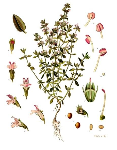 botanical illustration of thymus vulgaris for magickal properties of thyme