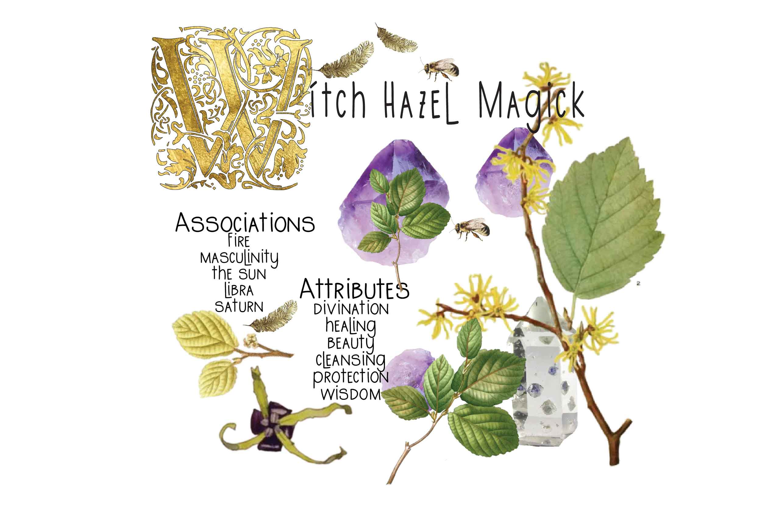 magickal properties of witch hazel illustrated