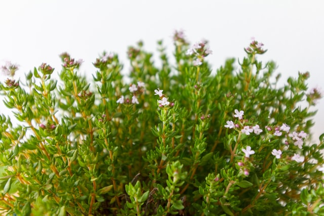 thyme against a white background