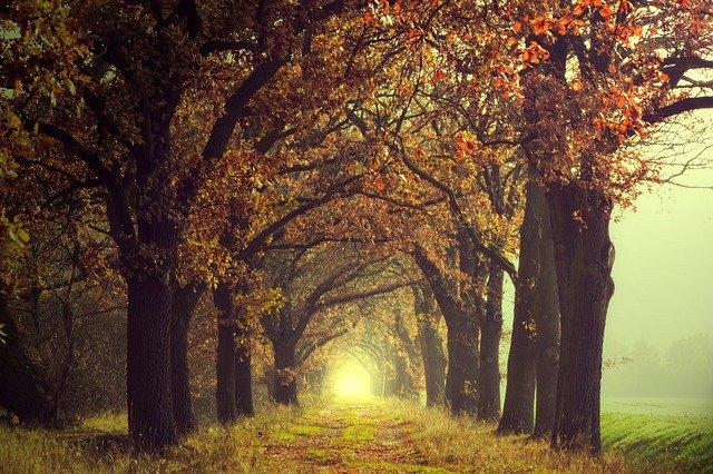 oak alley in autumn mist