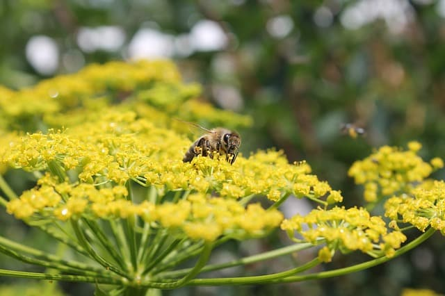 bee on fennel flower for magickal properties of fennel