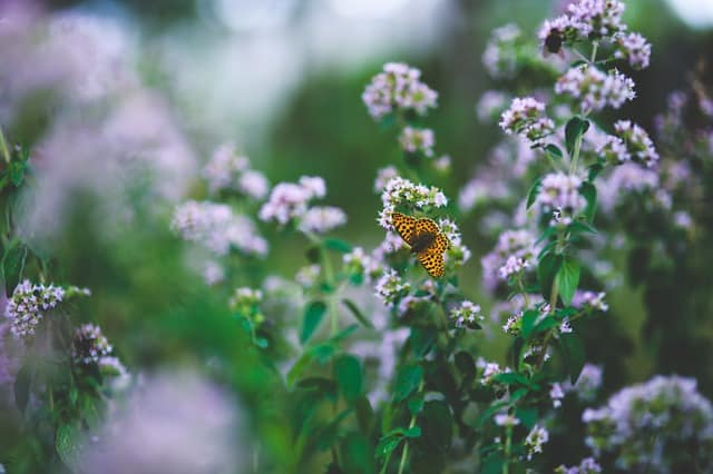 oregano in bloom with butterfly