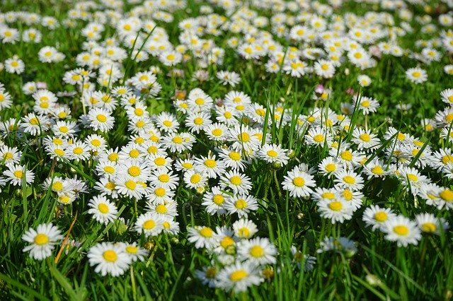 daisies in a field for the magickal properties of daisies