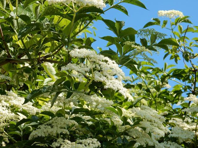 elder flowers blooming for the magickal properties of elderberry