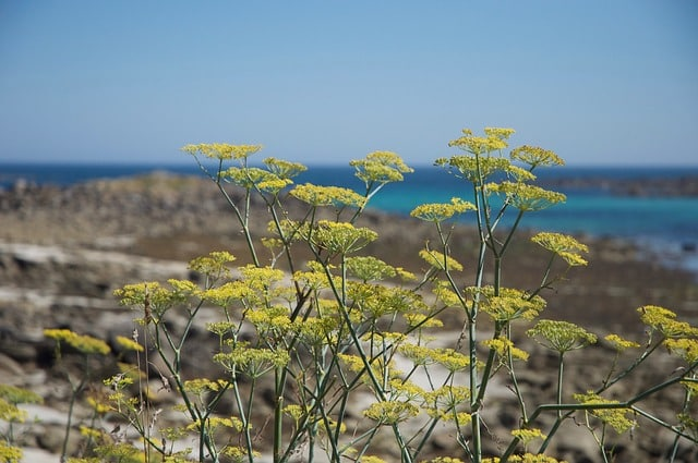 fennel flowering by coast for magickal properties of fennel