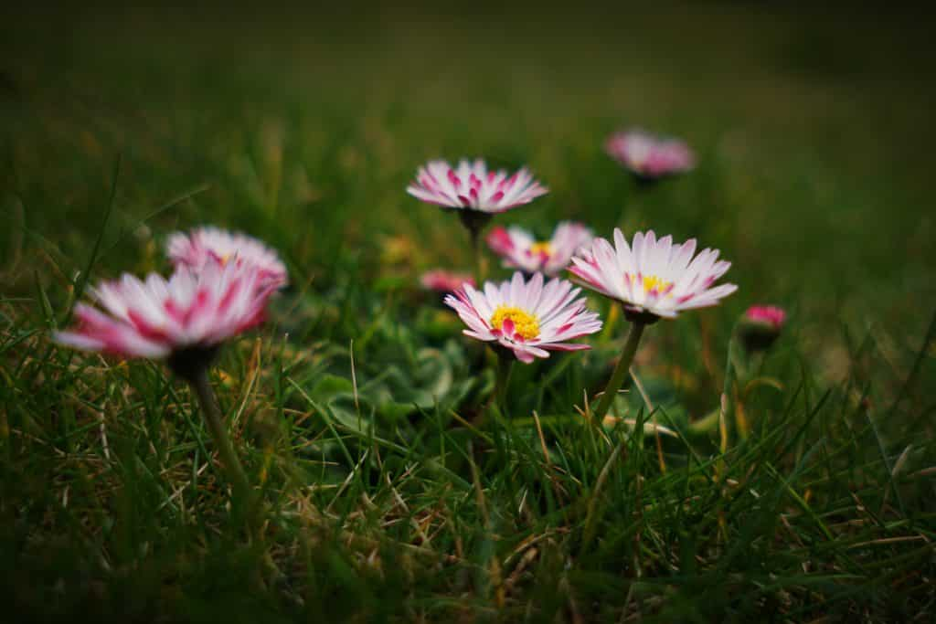 pink daisies in the grass