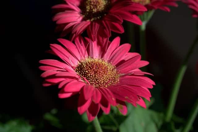 pink gerbera close up for magickal properties of daisies