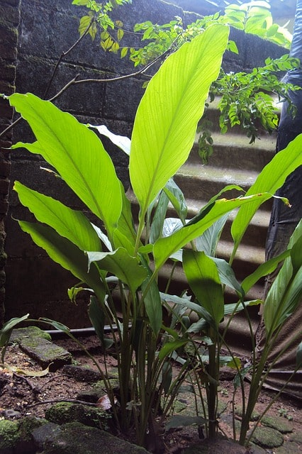 ginger growing for magickal properties of ginger