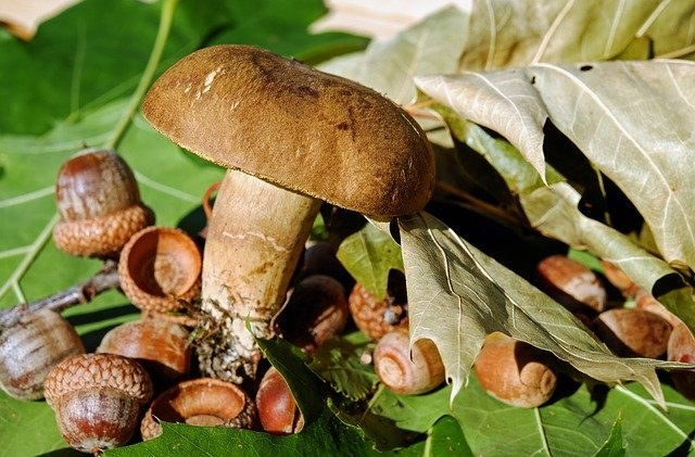 acorns and mushroom surrounded by oak leaves