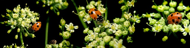 lady birds on parsley flowers