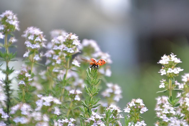 lady bird on blooming thyme plant