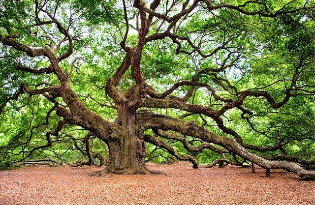 ancient oak tree for the magickal properties of oak and acorn