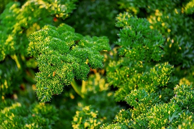 curly leaf parsley plant