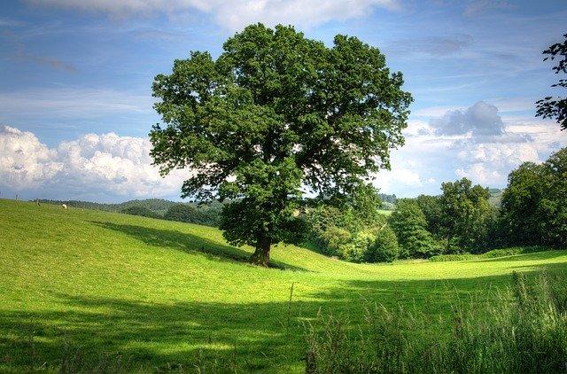 oak tree in a meadow for the magickal properties of oak and acorn