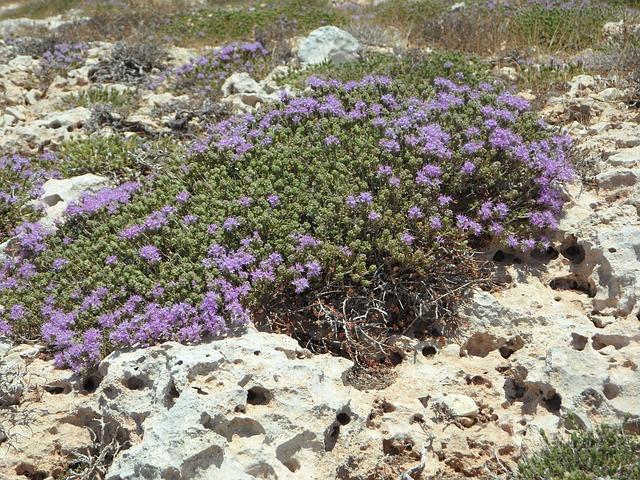 wild thyme on rocks