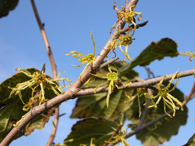 y shaped witch hazel branch