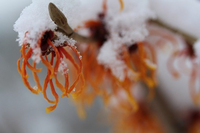 witch hazel flower covered with snow macro