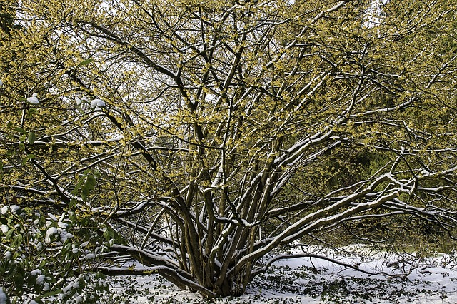 witch hazel tree in the snow
